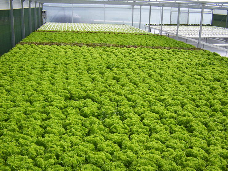 Nft fancy lettuce systems hydroponic hydroponics nz for Indoor gardening documentary