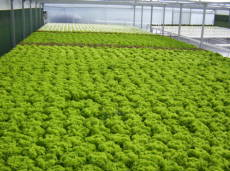 Hydroponic Nutrient Film Technique Lettuce System