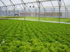 NFT Fancy Lettuce Systems